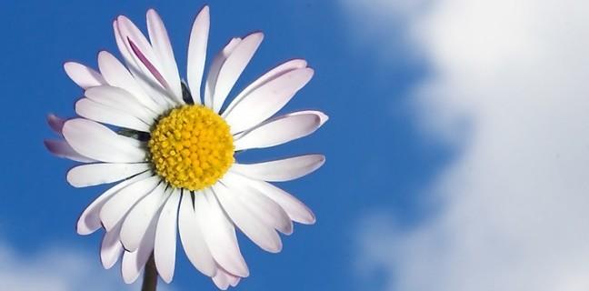 happy daisy flower