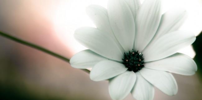 pure white flower